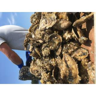 WOC-Oysters