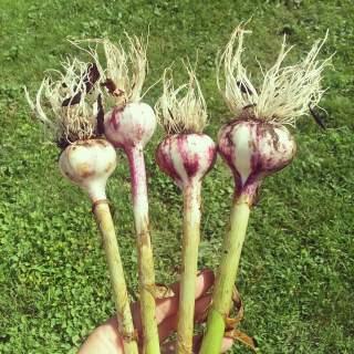 ENF- Purple Hardneck Garlic