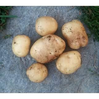 ENF- Green Mountain Potatoes